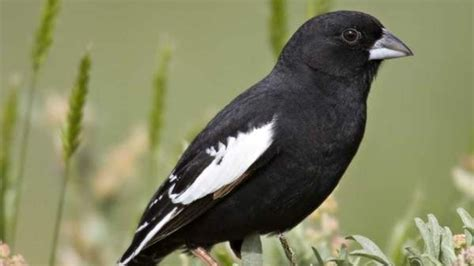 colorado state bird spurs ornithological controversy