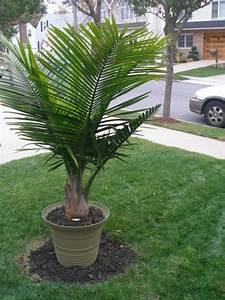 Palmenarten Für Draußen : palmenarten zimmerpflanzen wirken sehr sch n ~ Michelbontemps.com Haus und Dekorationen