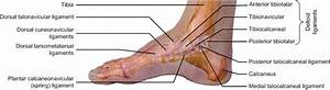 Ligaments Of Right Foot  Medial View   26