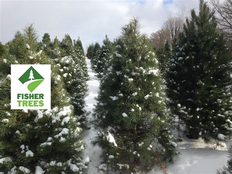 tree farm near me trendy ideas christmas trees near me u