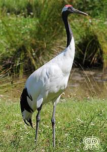 Red-Crowned Crane by Renathory on DeviantArt