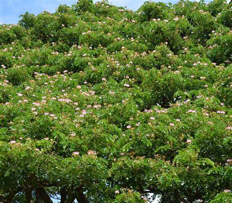 monkey pod rain tree samanea saman seeds