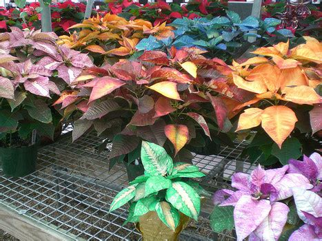 poinsettias colors different colors of poinsettias