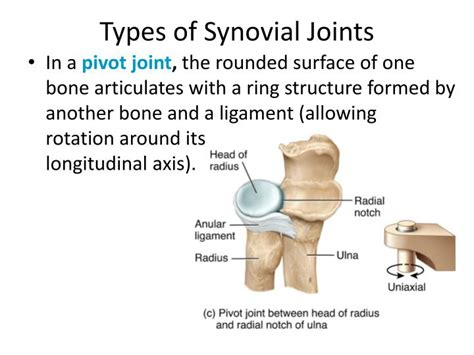 Synovial Joints Powerpoint Presentation