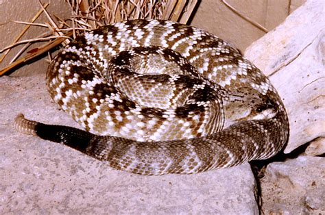 wild video  rattlesnake hunters  pennsylvania