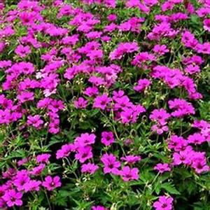 Couvre Sol Vivace : 1000 images about plantes couvre sol on pinterest rock ~ Premium-room.com Idées de Décoration