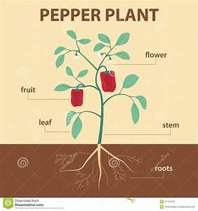 Pepper Plant Stock Vector