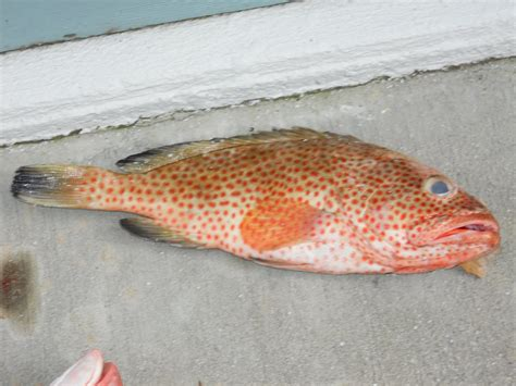 snapper strawberry grouper anne