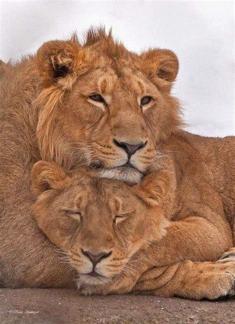 lion  lioness ideas  pinterest lion couple