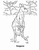 Kangaroo Coloring Pages Wallaby Printable Sheet Animal Template Sketch sketch template