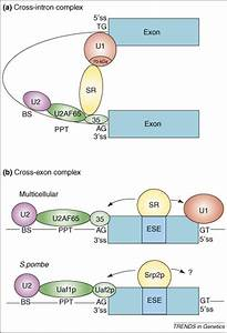Sr Proteins  A Foot On The Exon Before The Transition From