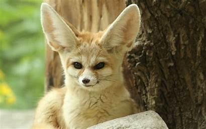 Fennec Fox Wallpapers Wild Cool Zoo Pretty