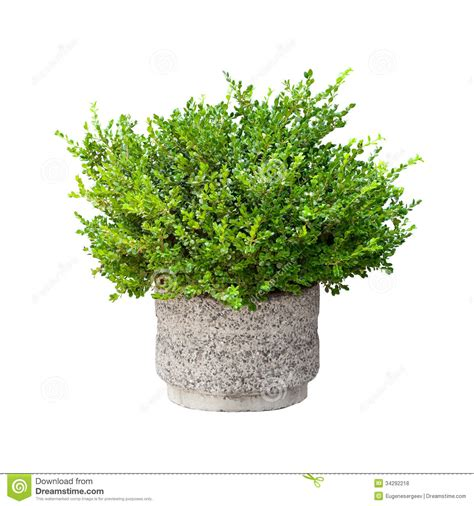 Garden Decorative Bushes by Small Green Decorative Bush Isolated Stock Photo Image
