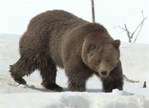 Bear Sightings Yellowstone National Park