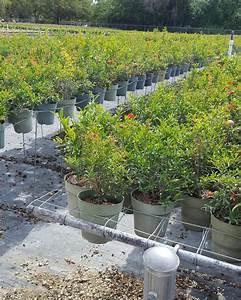 Buy Punica Granatum  U0026 39 Nana U0026 39   Pomegranate  U0026 39 Dwarf Red U0026 39