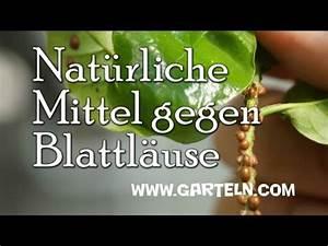 Was Hilft Gegen Blattläuse : hausmittel gegen blattl use tipps vom bio balkon g rtner ~ Articles-book.com Haus und Dekorationen
