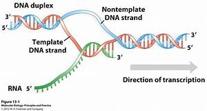 15 transcription of rna biology 312 with mack at for What is a template strand