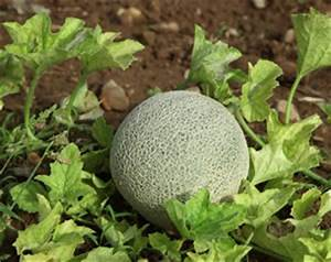 Was Kann Man Im August Noch Pflanzen : melonen anbauen pflanzen von wassermelone und honigmelone ~ Lizthompson.info Haus und Dekorationen
