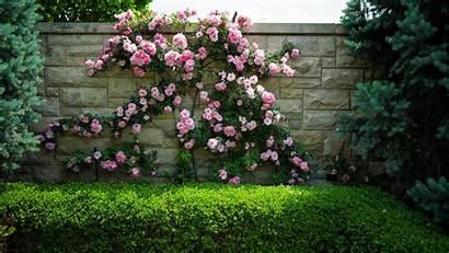 Rose Bush Garden Flower Background Flowers Wall