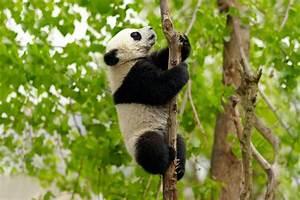 Panda Peluche Géant : le panda g ant les provinces de l 39 ouest chine ~ Teatrodelosmanantiales.com Idées de Décoration