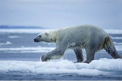 Polar Bear Populations Decrease 2050 Per Cent