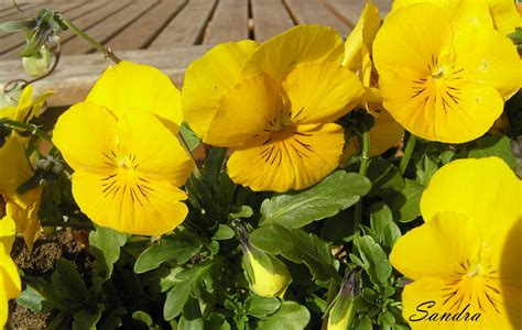 Love lives in the garden...: Atraitnītes (vijolītes) II