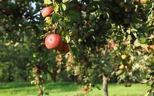 Wann Apfelbaum Pflanzen : apfelbaum pflanzen darauf musst du achten ~ Lizthompson.info Haus und Dekorationen