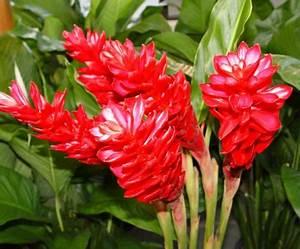 Pflanzen Zu Hause : immer frischen ingwer zu hause haben ~ Markanthonyermac.com Haus und Dekorationen