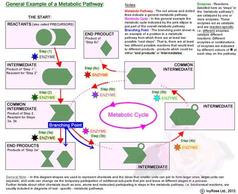 human metabolism diagram human free engine image for
