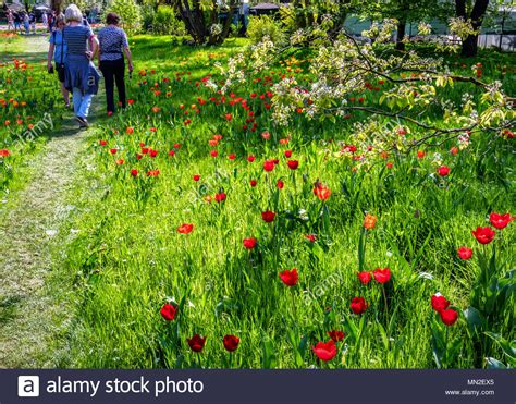 Britzer Garten Nordic Walking by Flowering Tulips In Park Stock Photos Flowering Tulips