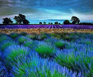 Lavender HD live wallpapers