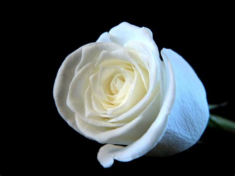 white rose wallpapers images  pictures backgrounds