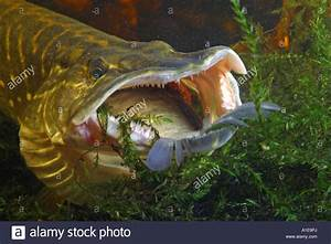 pike, northern pike (Esox lucius), feeding prey Stock ...