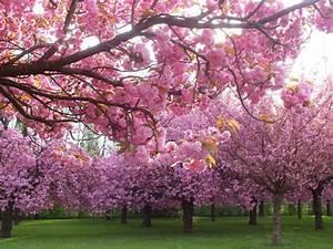 Fleur De Cerisier Signification : floraison des cerisiers du japon et des fleurs ~ Melissatoandfro.com Idées de Décoration