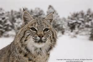 bob cats animals of montana inc bobcats