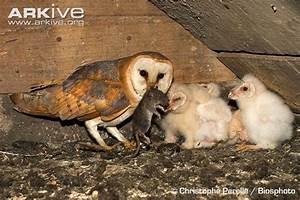 Barn owl photo - Tyto alba - A21838 | Arkive