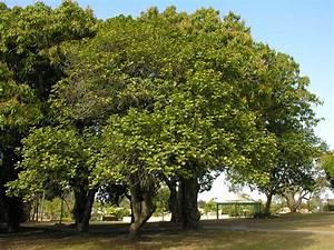 National Trust - Jackfruit trees (Artocarpus heterophyllis)