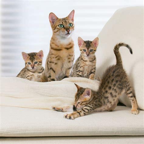 Kāpēc sterilizēt kaķi?   Pro Plan®