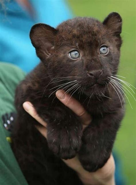 Baby Black Jaguar Dogs Cats And Other Exotic Animals