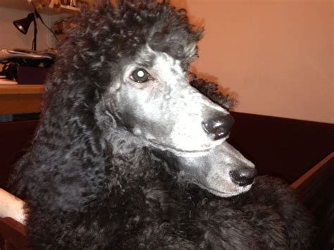 beautiful female silver standard poodle puppy