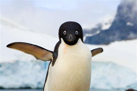 Flying Birds That Look Like Penguins