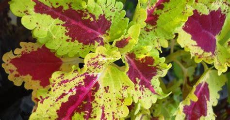 jual tanaman bayam hias unik murah  denpasar tanaman