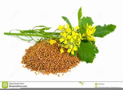 Clipart Mustard Seed Clip Domain Clker Vector