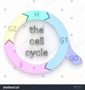 Diagram Showing Sequential Phases Cell Cycle Stock