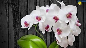 White orchid flower wallpaper 1600×900 – Creative Design ...