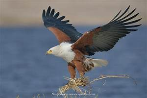 Getting to know the Chobe Fish Eagles | Neal Cooper
