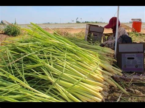 harvesting lemongrass  sarabian farms youtube