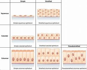Epithelial Tissue Diagram Unlabeled