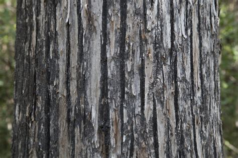 cypress tree bark re the sidewalk caf 233 celebrates fall page 395 blogs forums