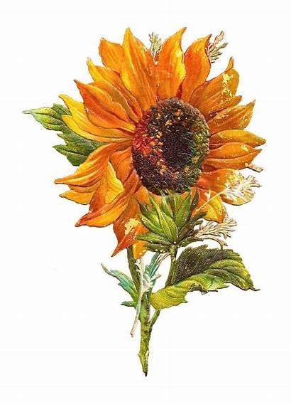 Clip Flower Victorian Sunflower Clipart Graphic Antique